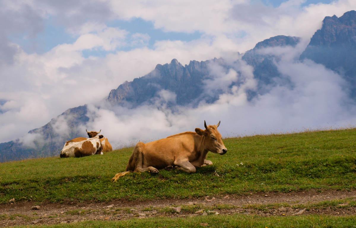 Kazbegi krowy