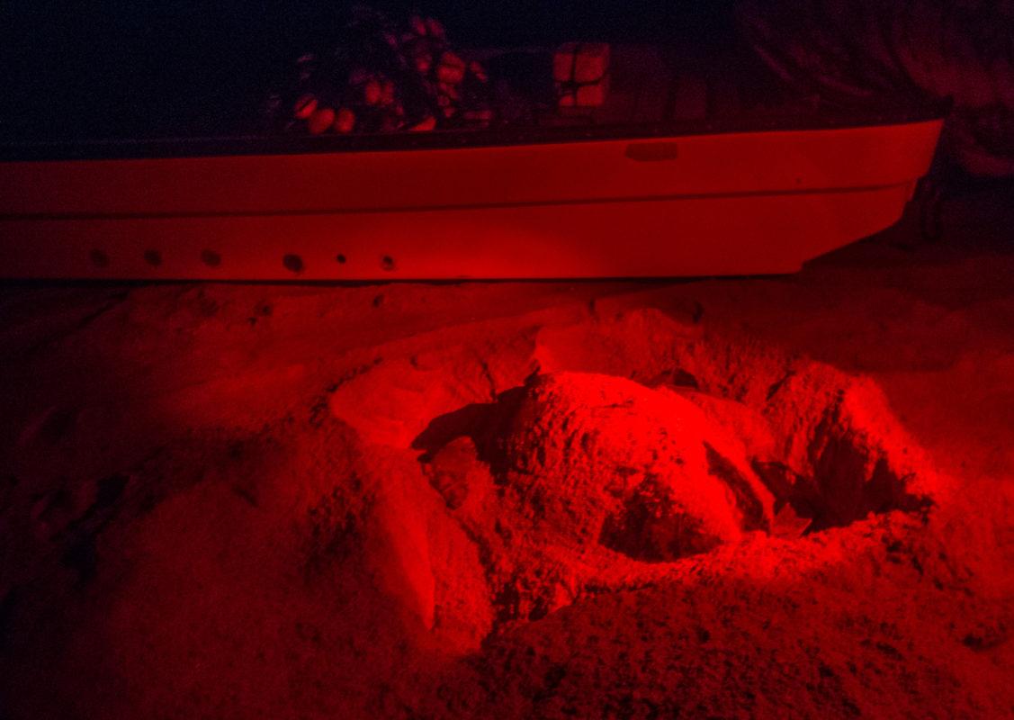 Ras al Jinz żółwie