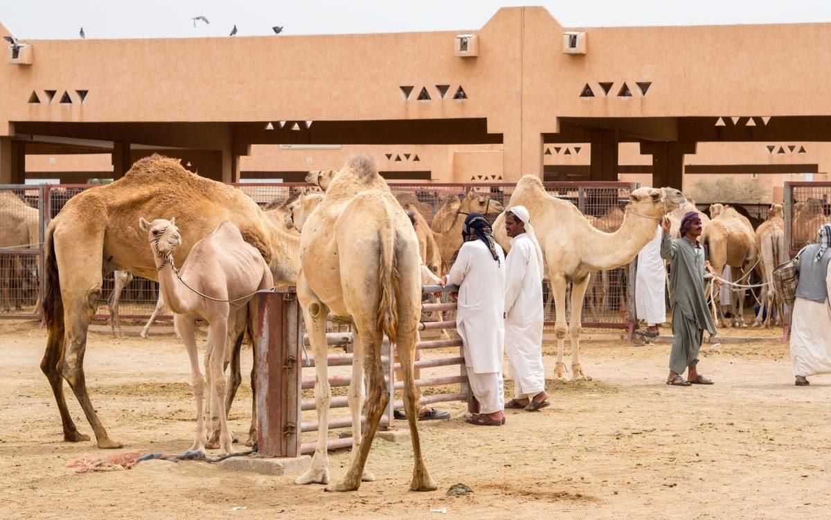 targ wielbłądów w Al Ain