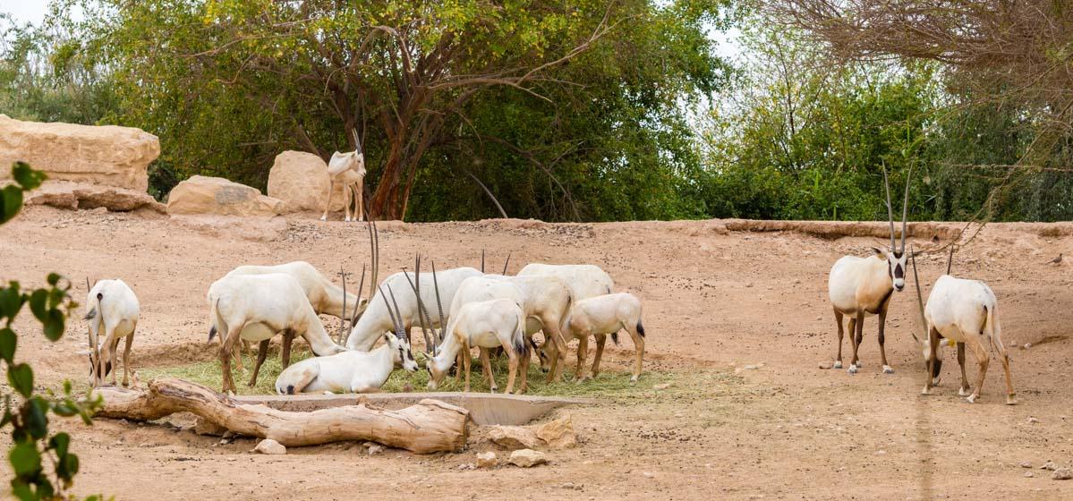 oryksy w zoo w Al Ain